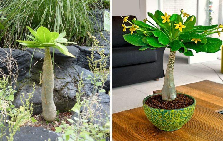 adelaparvu.com despre palmierul hawaiian, Brighamia insignis, Text Carli Marian (6)