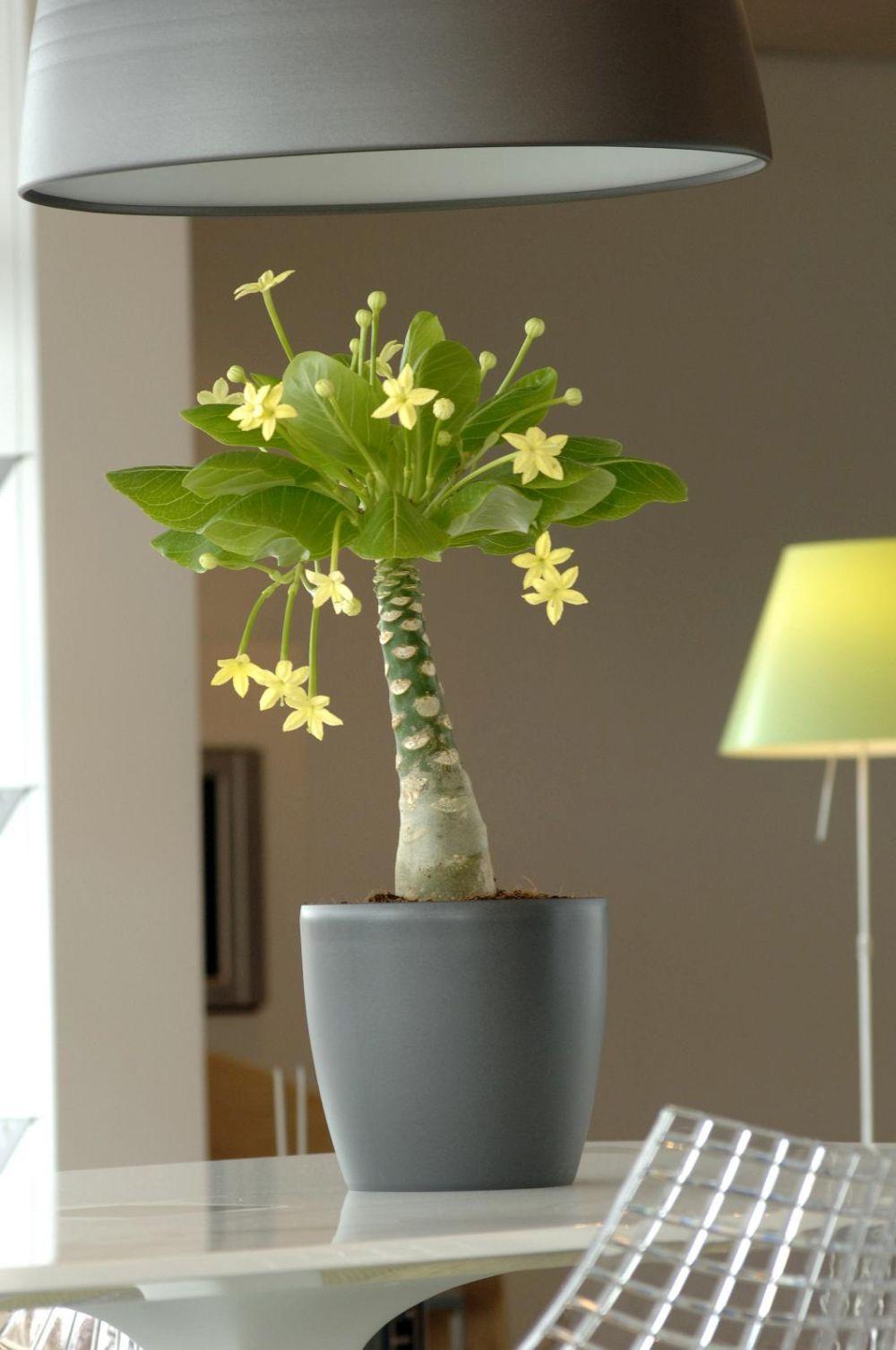 adelaparvu.com despre palmierul hawaiian, Brighamia insignis, Text Carli Marian (7)