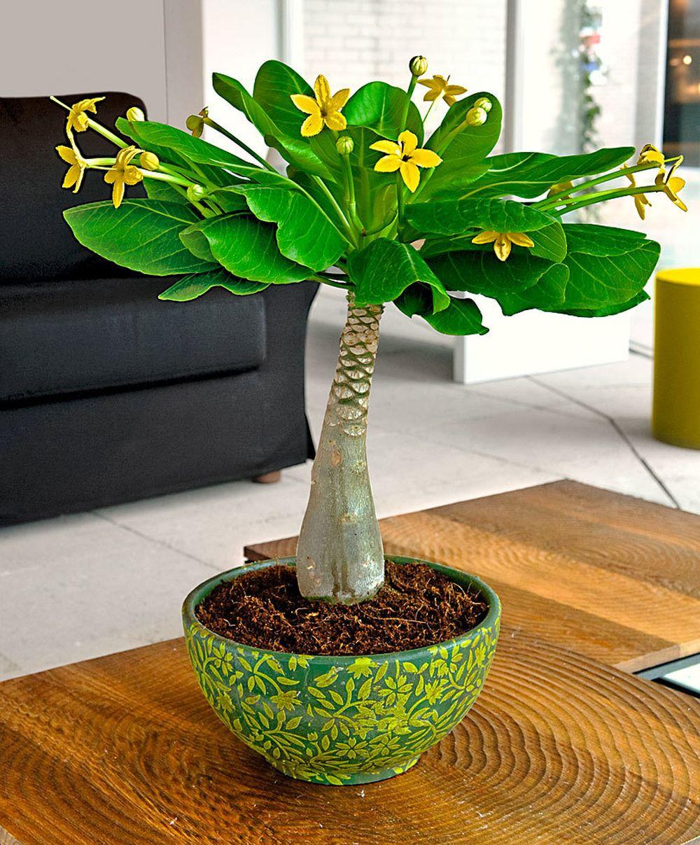 adelaparvu.com despre palmierul hawaiian, Brighamia insignis, Text Carli Marian (9)