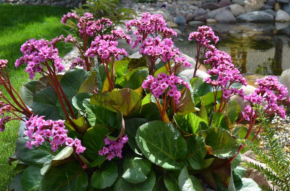 adelaparvu.com despre plante potrivite solului lutos, Text Carli Marian, in foto Bergenia cordifolia (1)