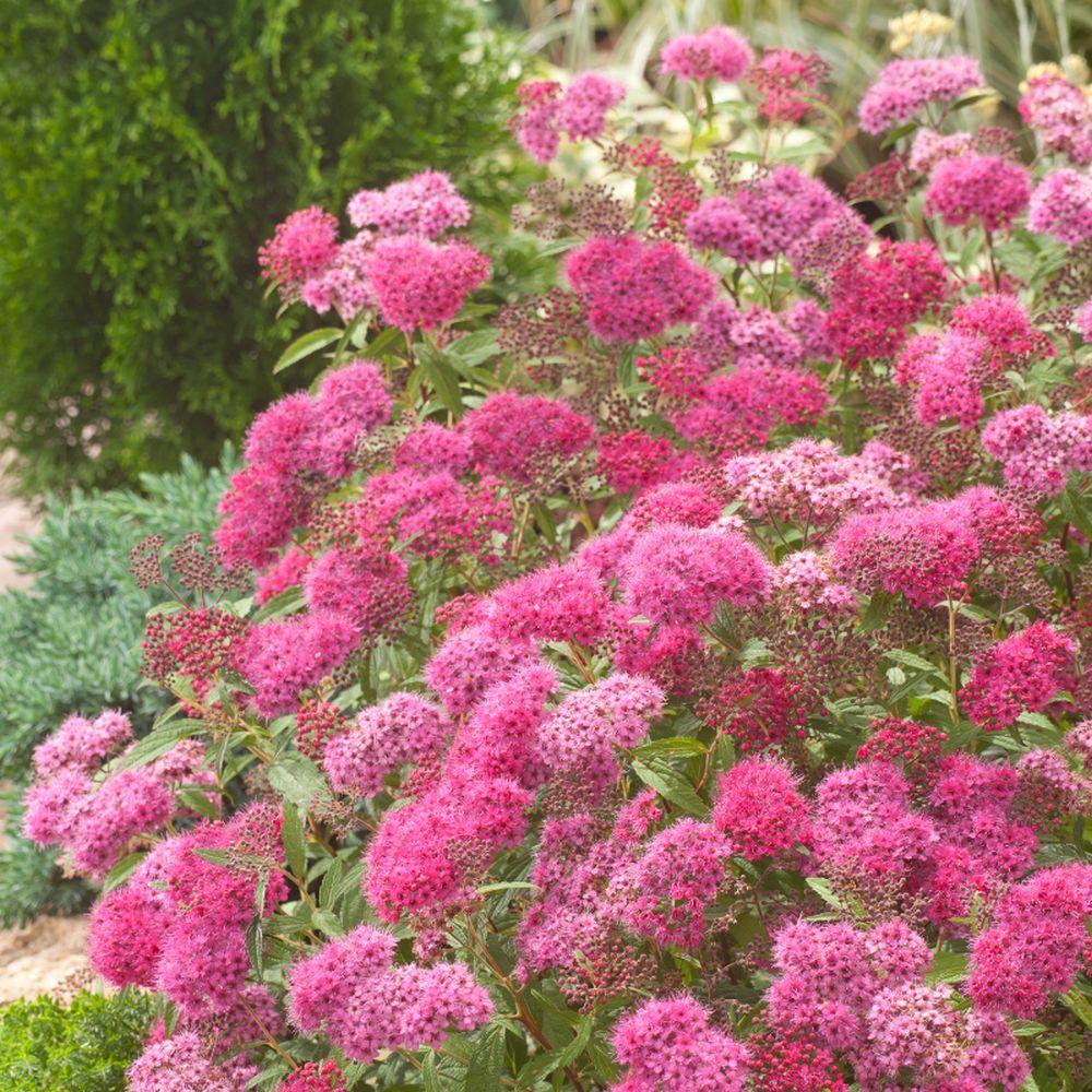 adelaparvu.com despre plante potrivite solului lutos, Text Carli Marian, in foto Spiraea japonica (2)