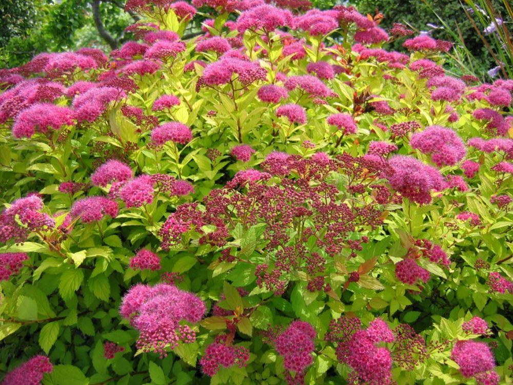 adelaparvu.com despre plante potrivite solului lutos, Text Carli Marian, in foto Spiraea japonica (3)