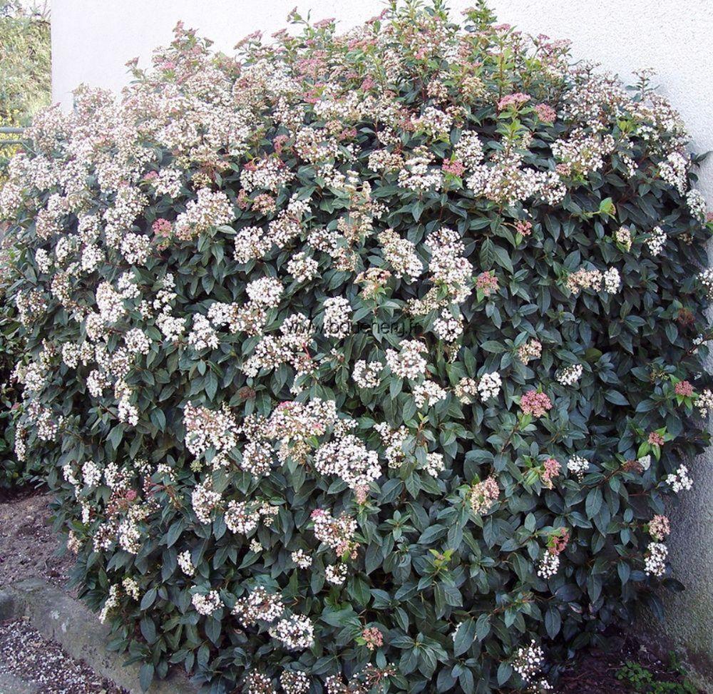 adelaparvu.com despre plante potrivite solului lutos, Text Carli Marian, in foto Viburnum tinus (2)