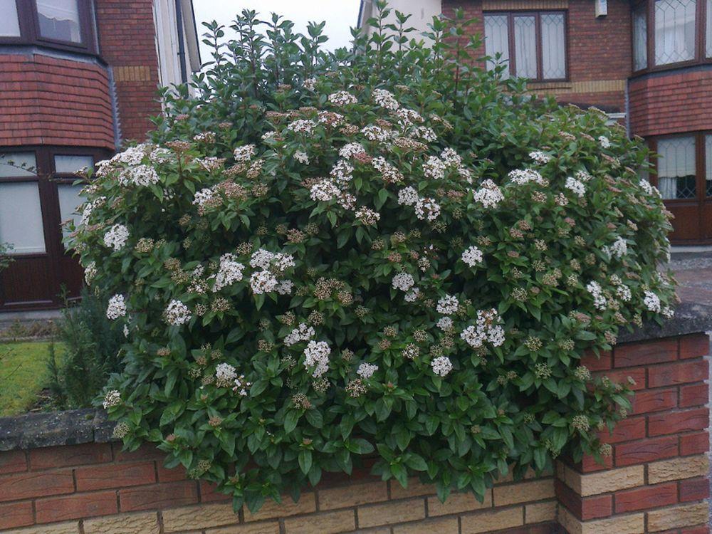 adelaparvu.com despre plante potrivite solului lutos, Text Carli Marian, in foto Viburnum tinus 3