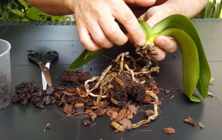 adelaparvu.com despre salvarea orhideelor cu radacini putrezite, Video Carli Marian (1)