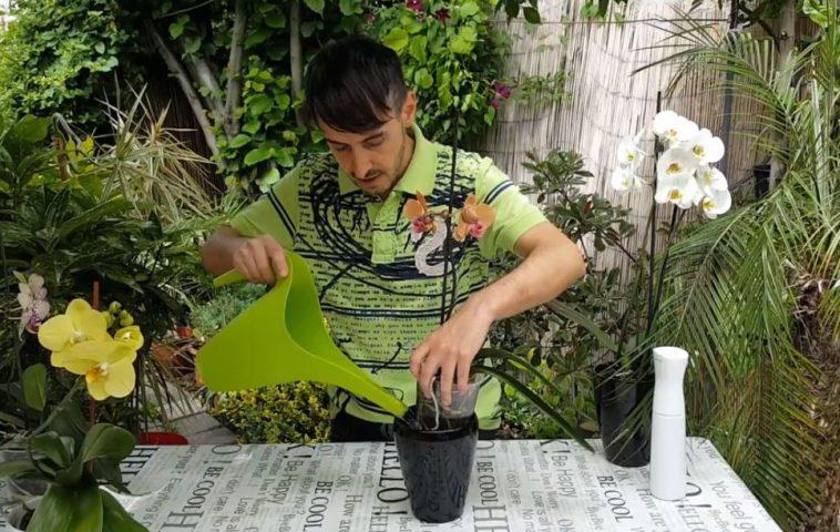 adelaparvu.com despre udarea corecta a orhideei Phalaenopsis