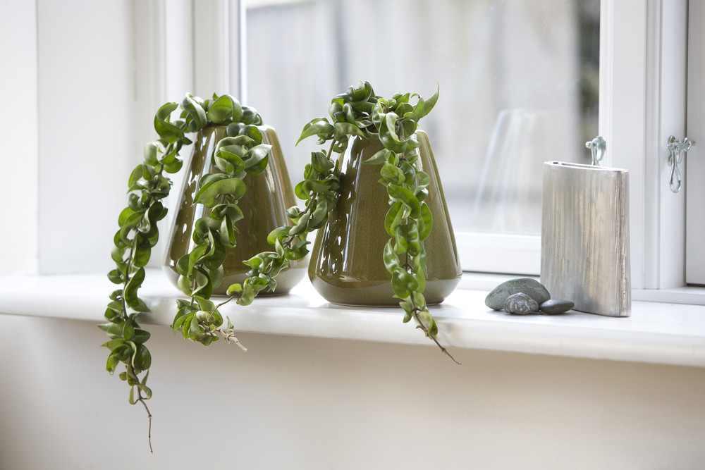 Hoya carnosa fără flori