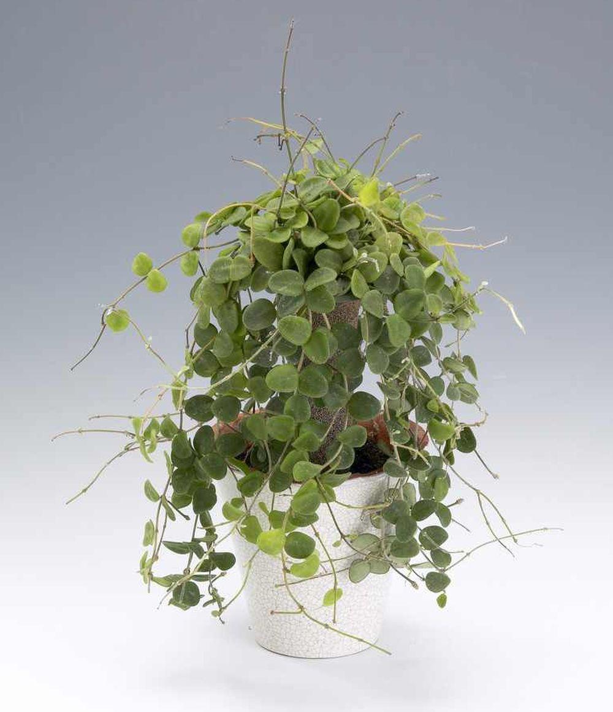 Hoya serpens fără flori