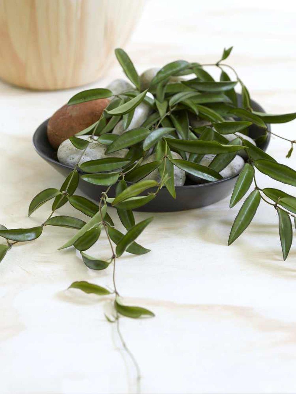 Hoya wayettii fără flori