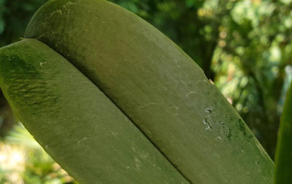 adelaparvu.com despre eliminarea paduchelui lanos de pe orhidee, Text Carli Marian, Foto Carli Marian (2)