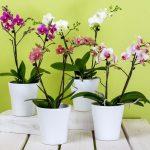 adelaparvu.com despre eliminarea paduchelui lanos de pe orhidee, Text Carli Marian, Foto Coles Florist