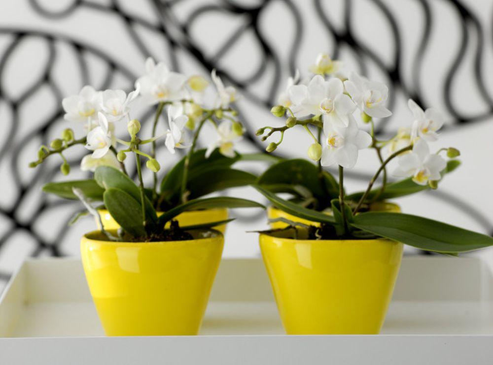 adelaparvu.com despre eliminarea paduchelui lanos de pe orhidee, Text Carli Marian, Foto Floradania (2)