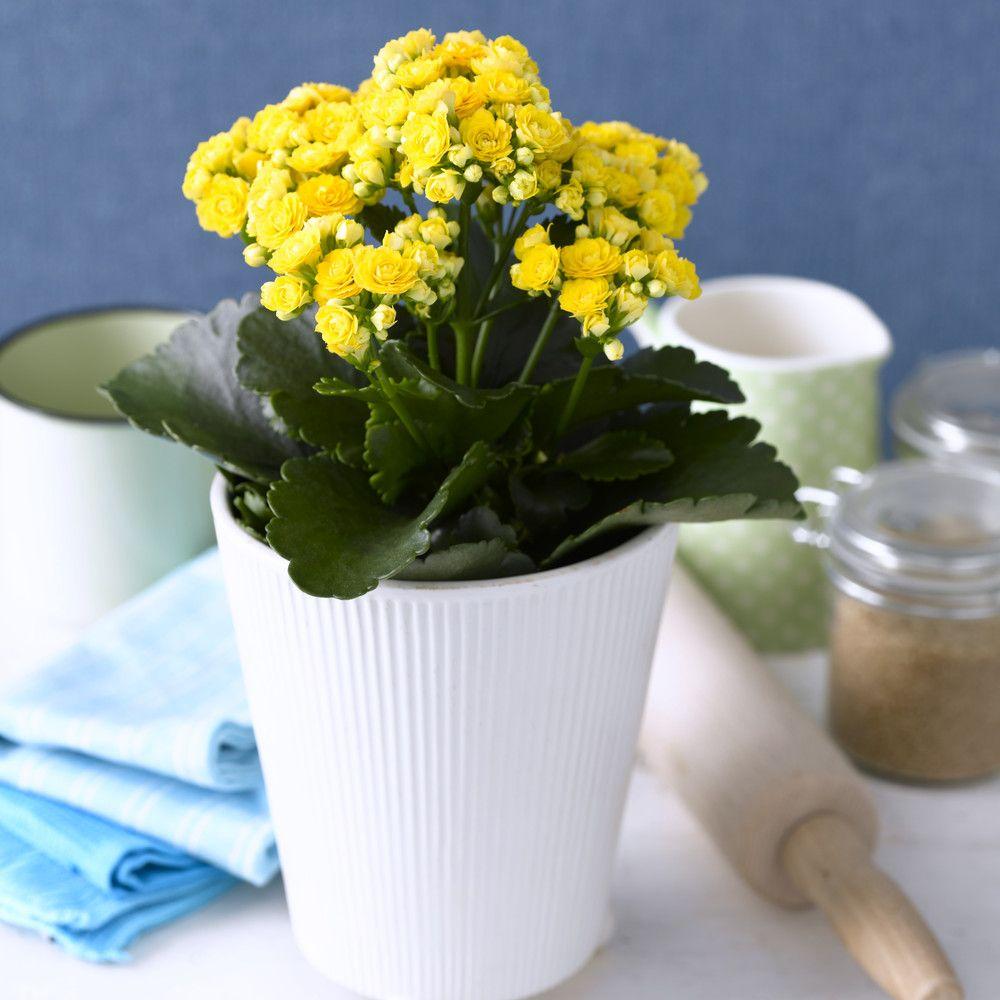 adelaparvu.com despre inflorerea plantei Kalanchoe, Text Carli Marian, Foto Floradania (12)