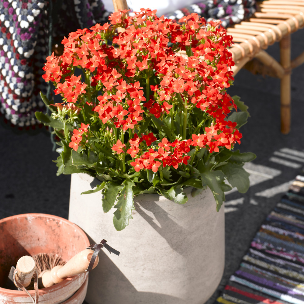 adelaparvu.com despre inflorerea plantei Kalanchoe, Text Carli Marian, Foto Floradania (8)