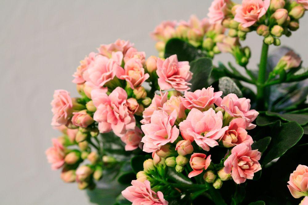 adelaparvu.com despre inflorerea plantei Kalanchoe, Text Carli Marian, Foto Floradania (9)
