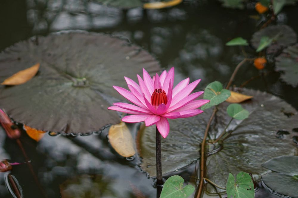 adelaparvu.com despre nufar, Water Lily, Text Carli Marian (3)