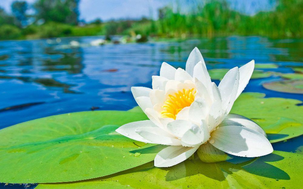 adelaparvu.com despre nufar, Water Lily, Text Carli Marian (7)