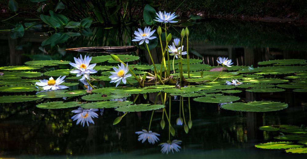 adelaparvu.com despre nufar, Water Lily, Text Carli Marian (9)