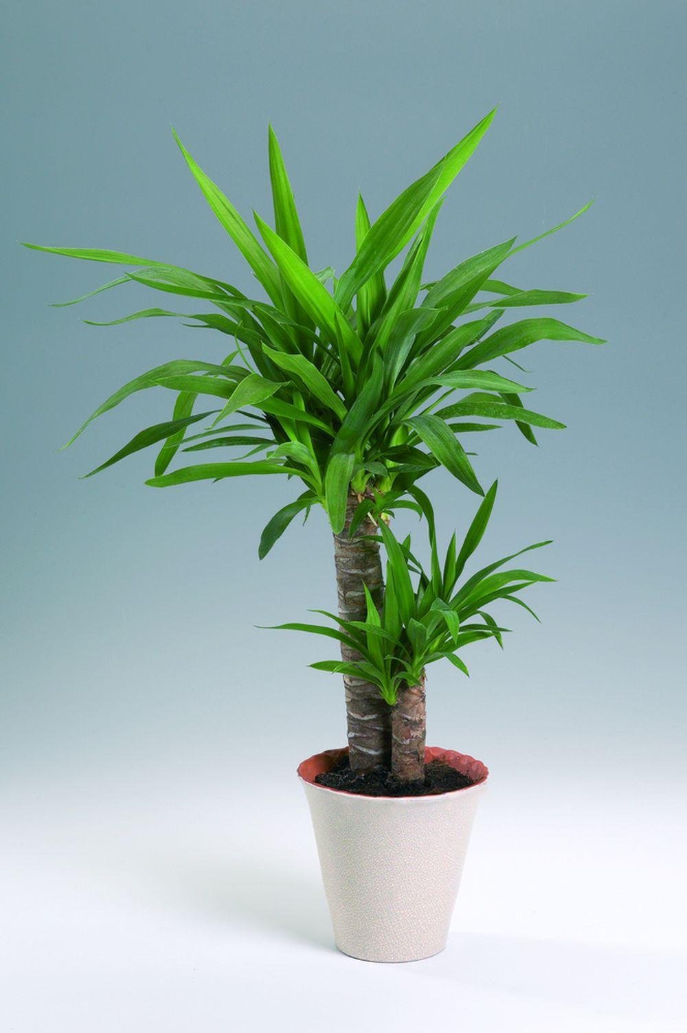adelaparvu.com despre taierea si inumultirea plantei Yucca, Text Carli Marian (3)