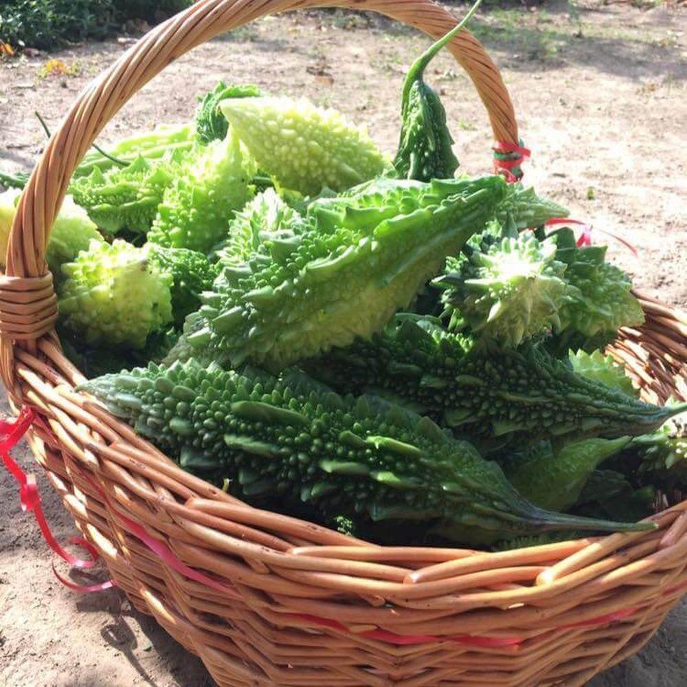Roxana Aldulescu cultivă castravete amar în județul Ialomița
