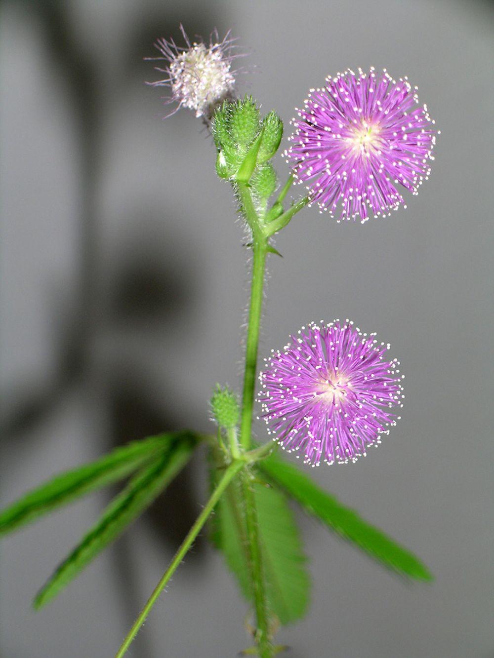 adelaparvu.com despre Mimosa pudica, Text Carli Marian, Foto Wikipedia 2