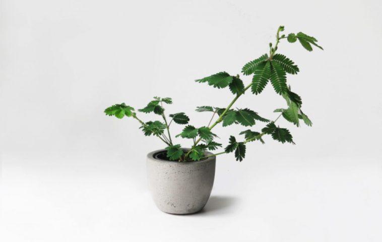 adelaparvu.com despre Mimosa pudica, Text Carli Marian, Foto studiobotanike.hr