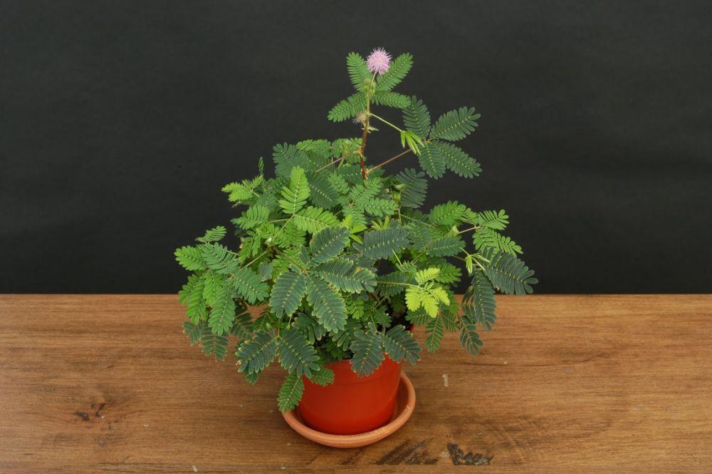adelaparvu.com despre Mimosa pudica, Text Carli Marian