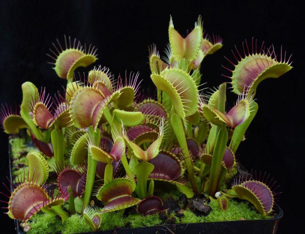 adelaparvu.com despre planta carnivora Capcana lui Venus, Dionaea Muscipula, Text Carli Marian (1)