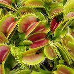 adelaparvu.com despre planta carnivora Capcana lui Venus, Dionaea Muscipula, Text Carli Marian (5)