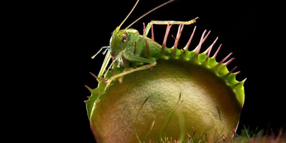 adelaparvu.com despre planta carnivora Capcana lui Venus, Dionaea Muscipula, Text Carli Marian (6)