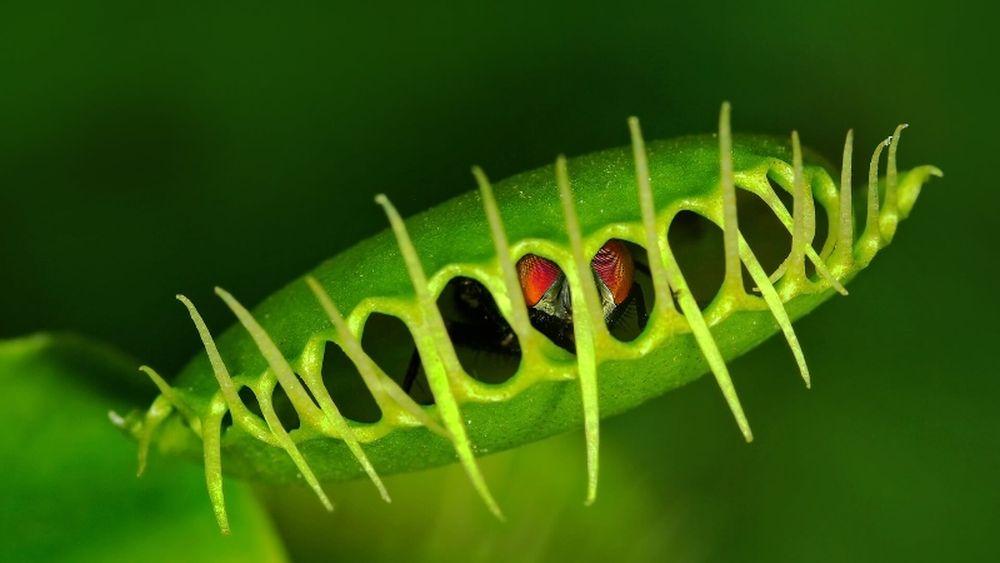 adelaparvu.com despre planta carnivora Capcana lui Venus, Dionaea Muscipula, Text Carli Marian (7)
