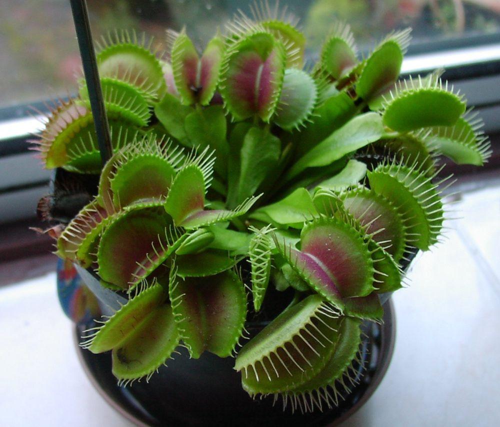adelaparvu.com despre planta carnivora Capcana lui Venus, Dionaea Muscipula, Text Carli Marian (8)