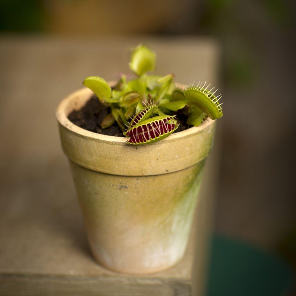 adelaparvu.com despre planta carnivora Capcana lui Venus, Dionaea Muscipula, Text Carli Marian Foto Floradania (1)