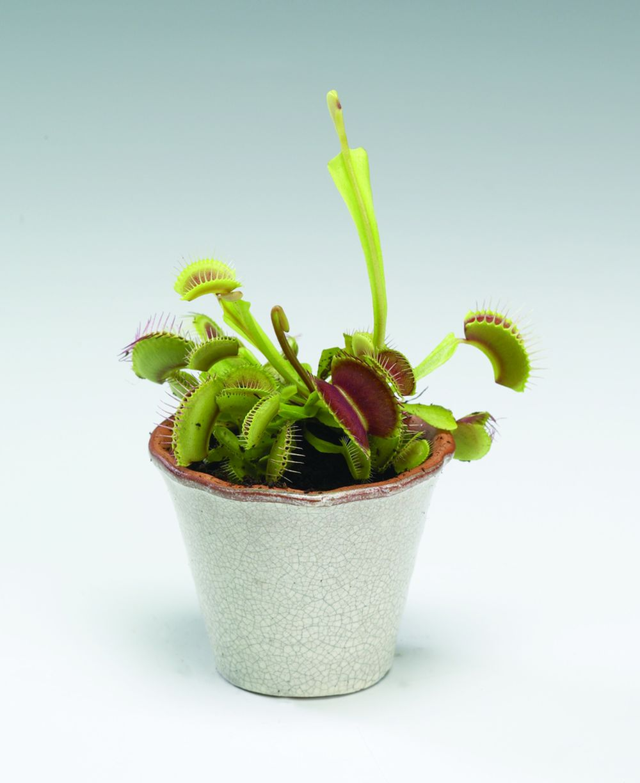 adelaparvu.com despre planta carnivora Capcana lui Venus, Dionaea Muscipula, Text Carli Marian Foto Floradania (2)