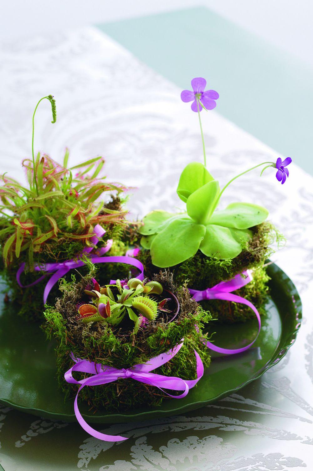 adelaparvu.com despre planta carnivora Capcana lui Venus, Dionaea Muscipula, Text Carli Marian Foto Floradania (3)