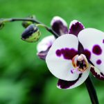 adelaparvu.com despre reinflorirea orhideelor, text Carli Marian, Foto Floradania (3)