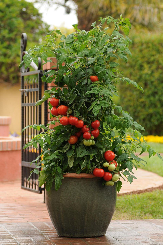 adelaparvu.com despre rosii cherry, tomate cherry pe timp de vara (1)