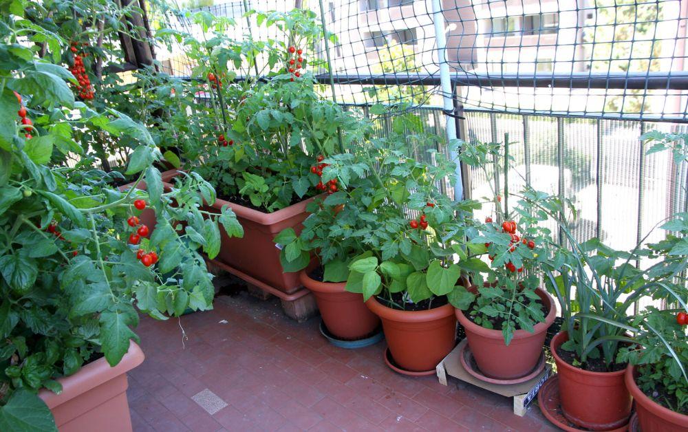 adelaparvu.com despre rosii cherry, tomate cherry pe timp de vara (2)