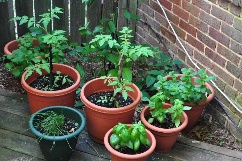 adelaparvu.com despre rosii cherry, tomate cherry pe timp de vara (3)