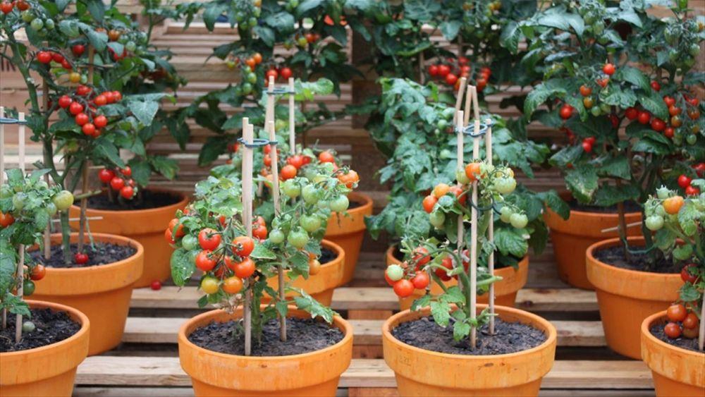 adelaparvu.com despre rosii cherry, tomate cherry pe timp de vara (5)