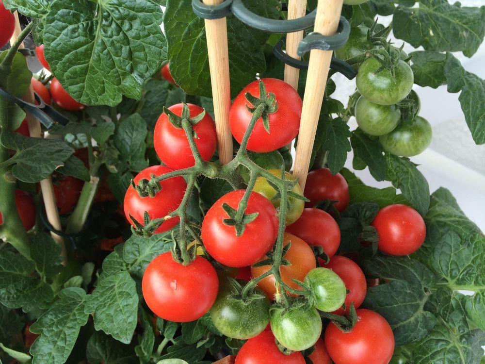 adelaparvu.com despre rosii cherry, tomate cherry pe timp de vara (7)