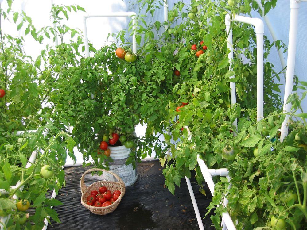 adelaparvu.com despre rosii cherry, tomate cherry pe timp de vara (8)