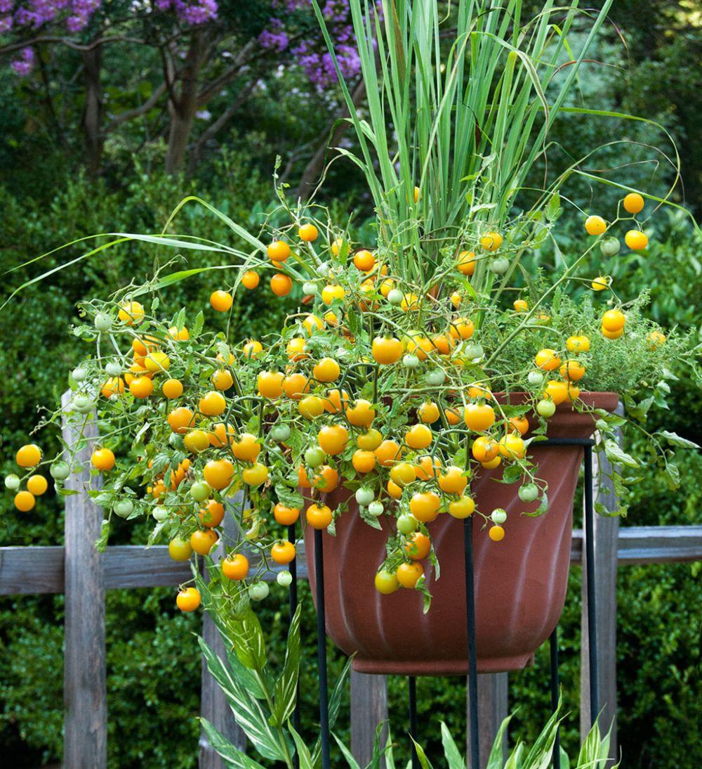 adelaparvu.com despre rosii cherry, tomate cherry pe timp de vara (9)