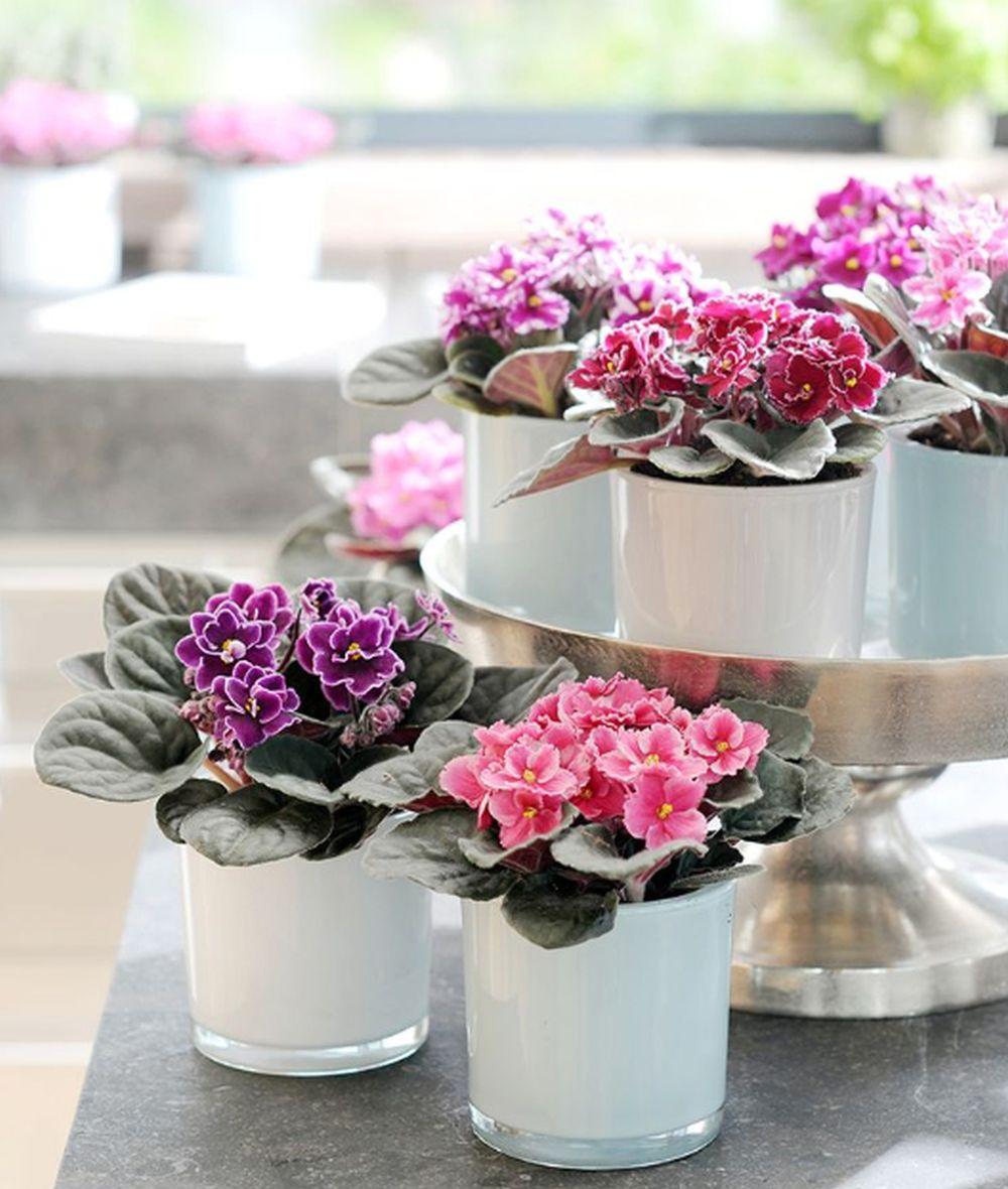 adelaparvu.com despre violetele de Parma, Saintpaulia, Text Carli Marian, Foto Floradania (1)