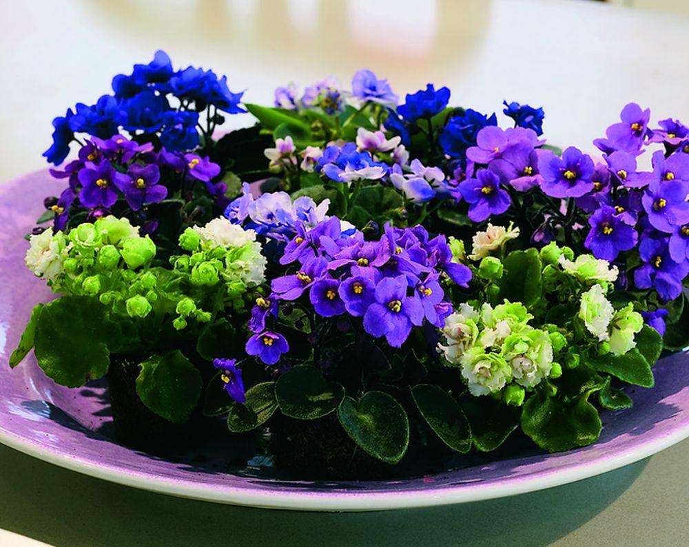adelaparvu.com despre violetele de Parma, Saintpaulia, Text Carli Marian, Foto Floradania (11)