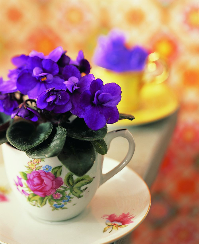 adelaparvu.com despre violetele de Parma, Saintpaulia, Text Carli Marian, Foto Floradania (2)