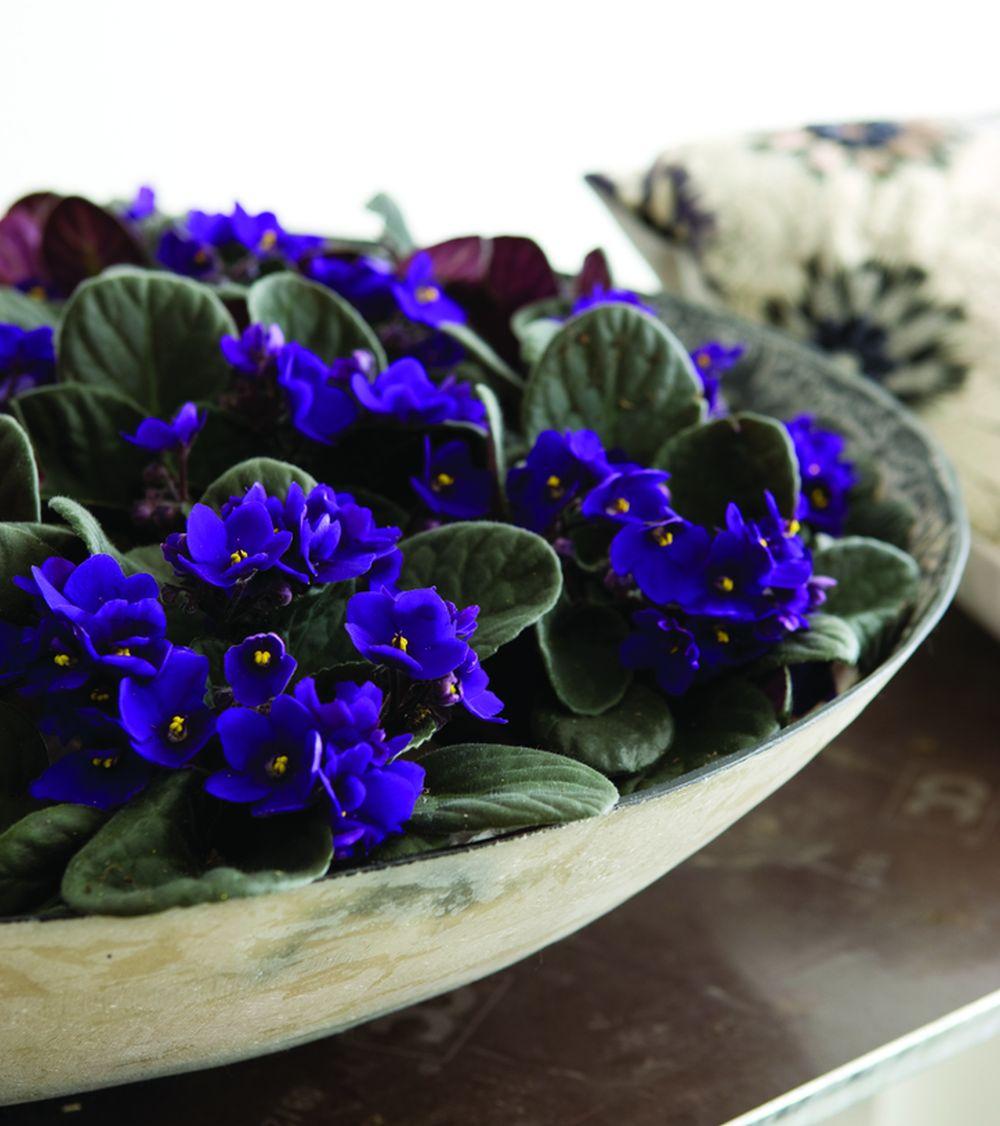 adelaparvu.com despre violetele de Parma, Saintpaulia, Text Carli Marian, Foto Floradania (3)