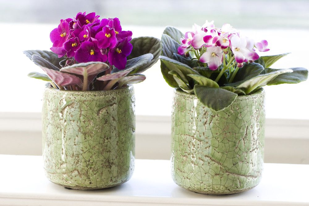 adelaparvu.com despre violetele de Parma, Saintpaulia, Text Carli Marian, Foto Floradania (4)