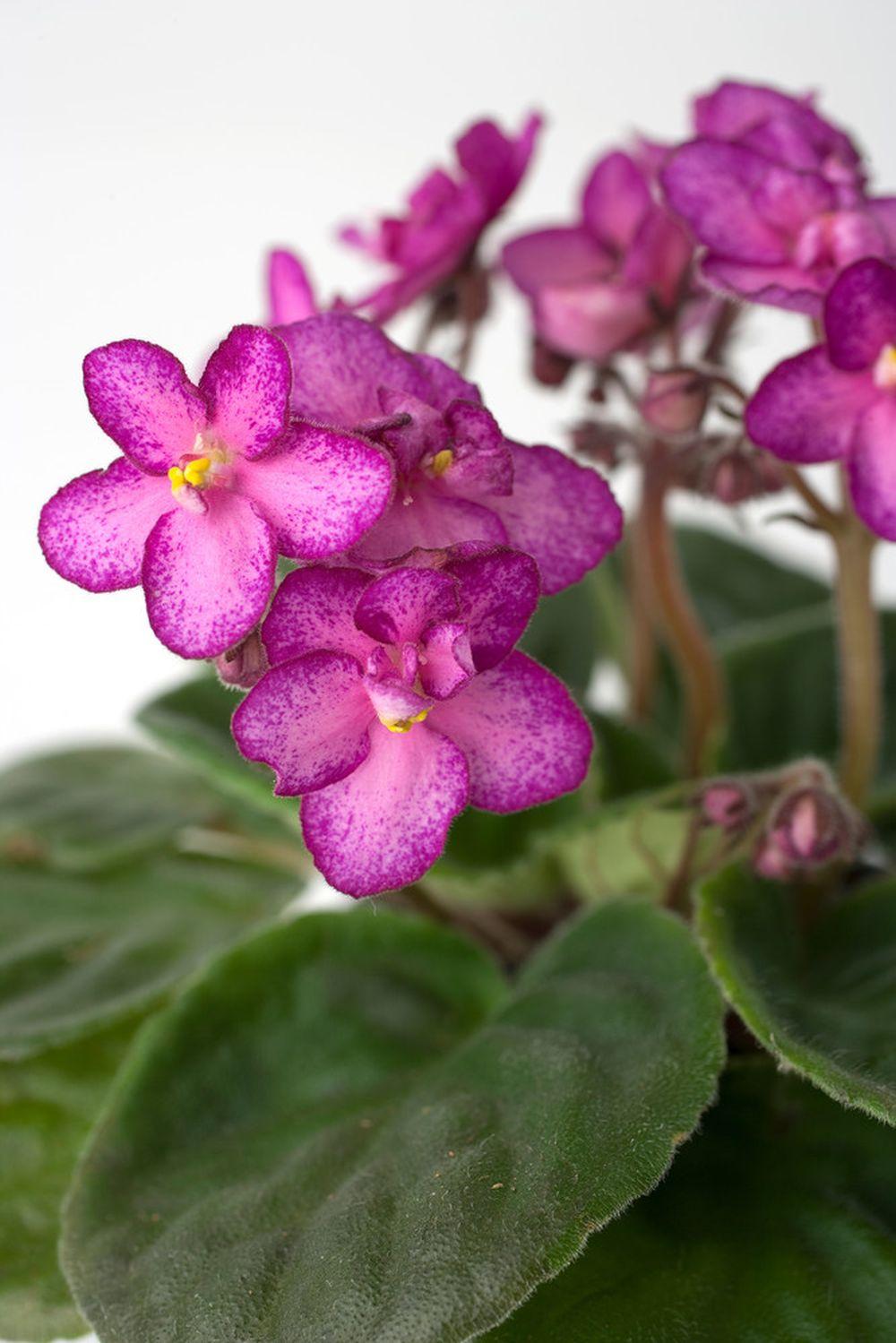 adelaparvu.com despre violetele de Parma, Saintpaulia, Text Carli Marian, Foto Floradania (6)
