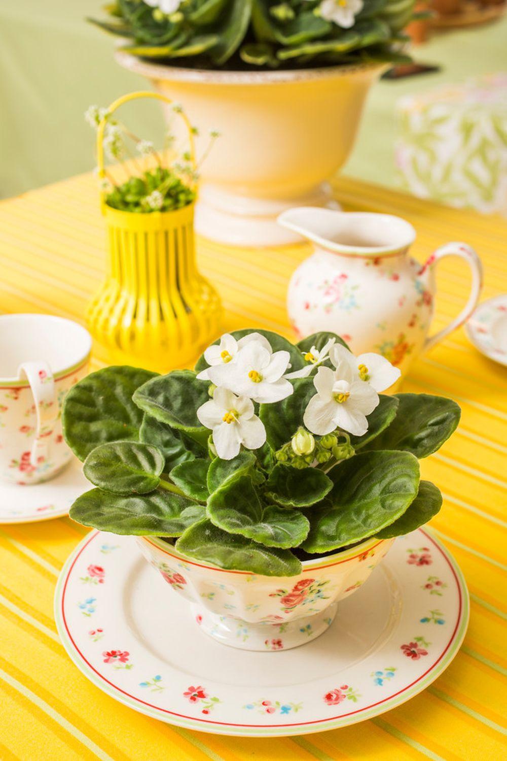 adelaparvu.com despre violetele de Parma, Saintpaulia, Text Carli Marian, Foto Floradania (9)